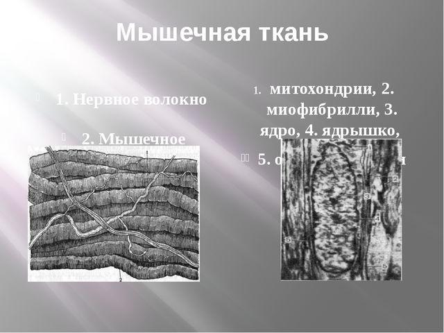 Мышечная ткань 1. Нервное волокно 2. Мышечное волокно митохондрии, 2. миофибр...