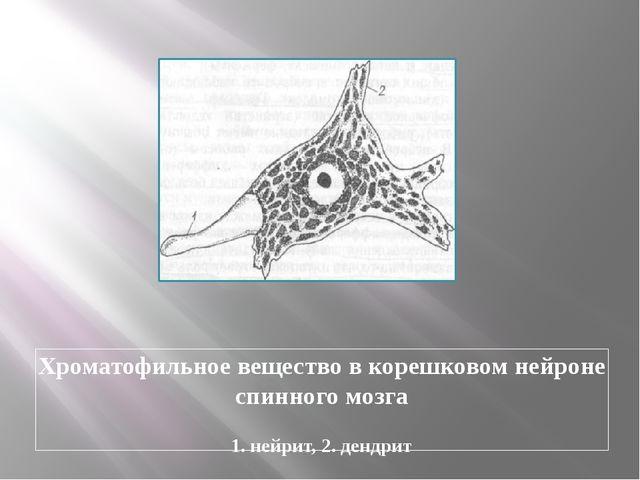 Хроматофильное вещество в корешковом нейроне спинного мозга 1. нейрит, 2. ден...