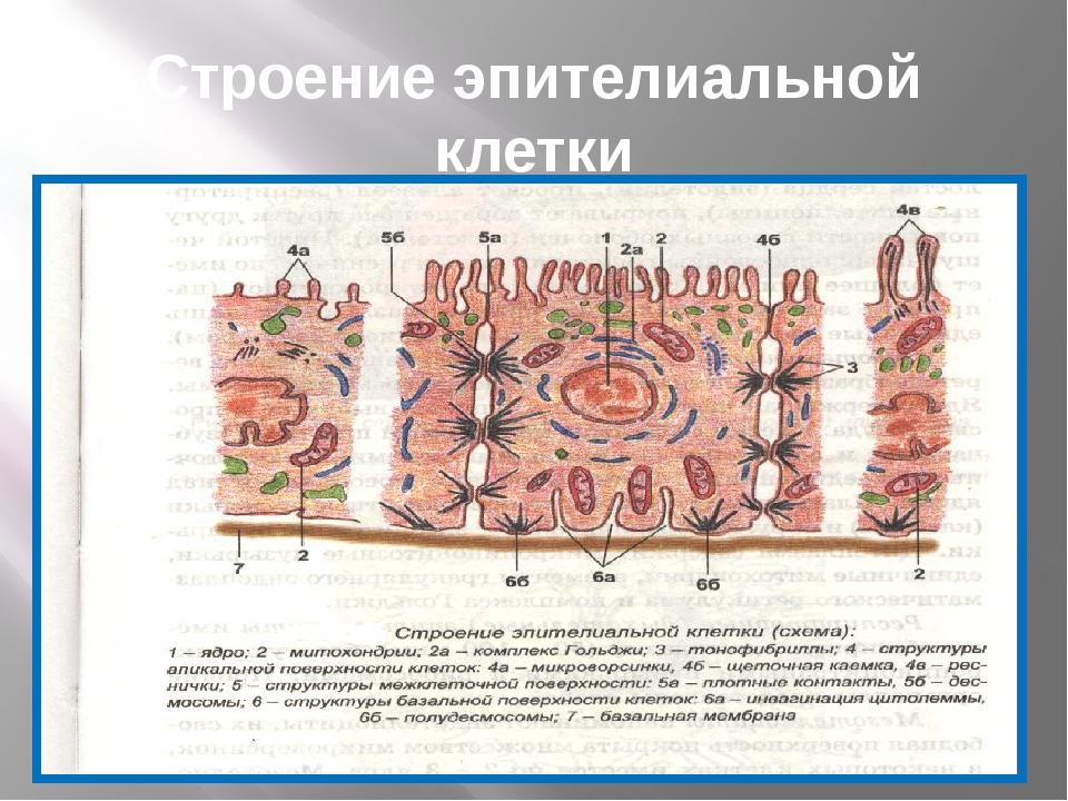 Строение эпителиальной клетки