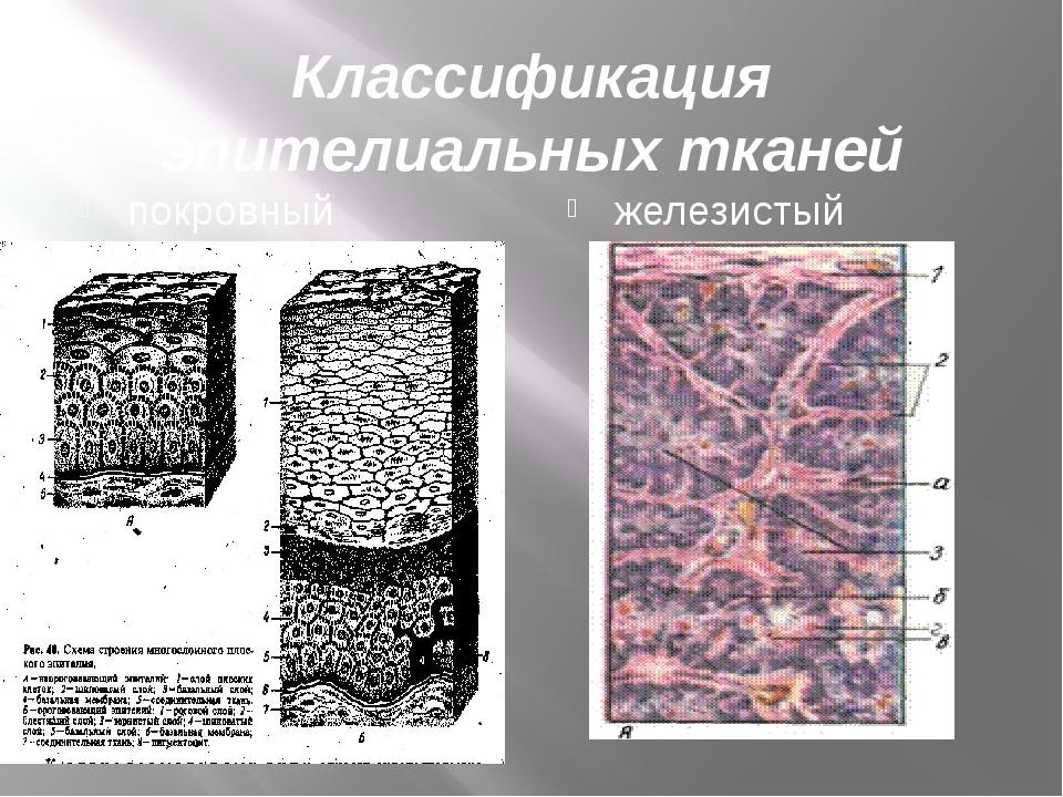 Классификация эпителиальных тканей покровный эпителий железистый эпителий