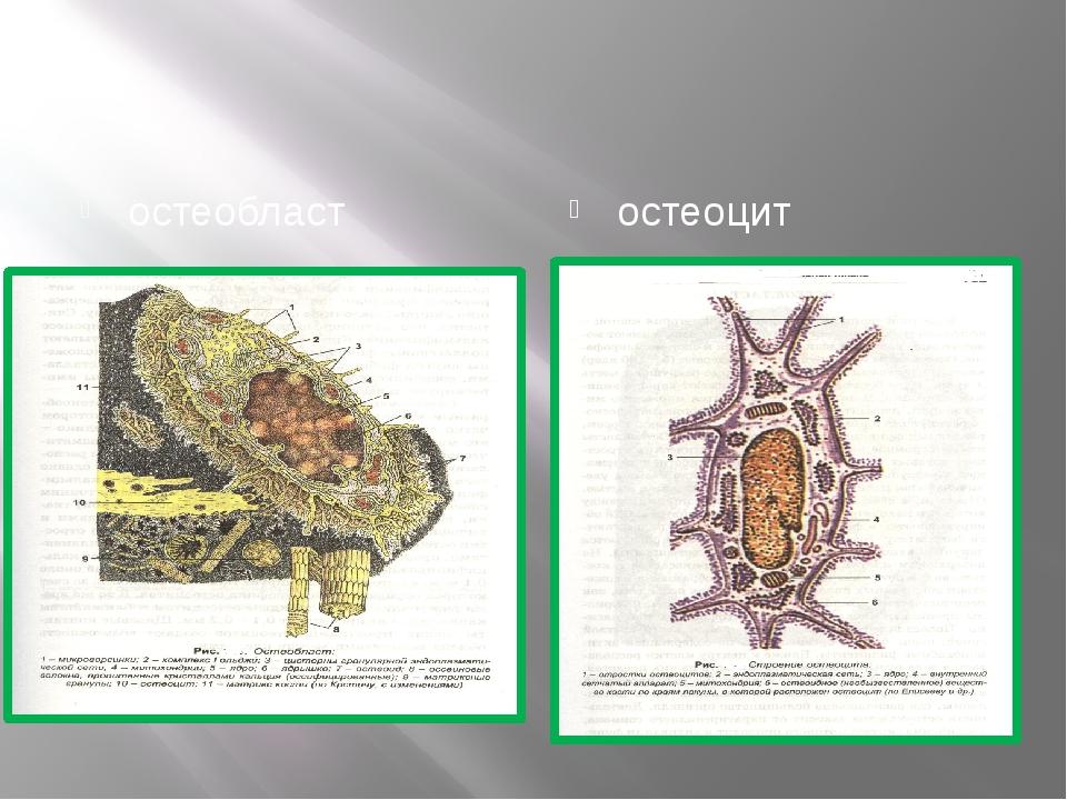 остеобласт остеоцит