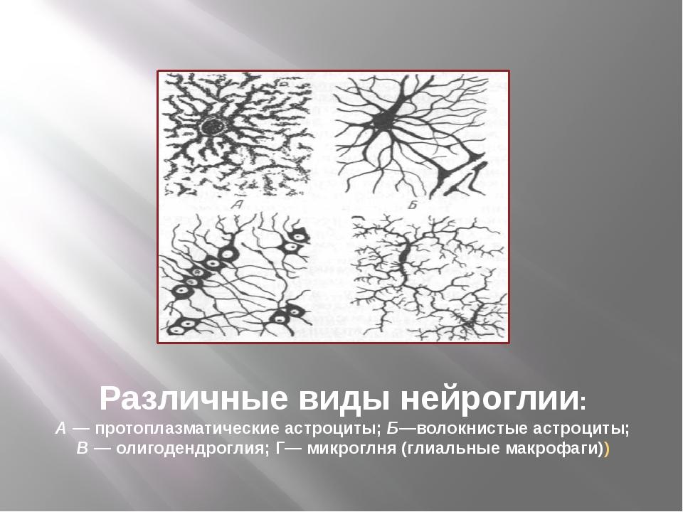 Различные виды нейроглии: А — протоплазматические астроциты; Б—волокнистые ас...