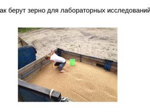 Так берут зерно для лабораторных исследований.