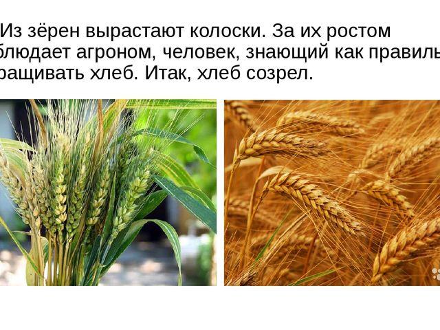 Из зёрен вырастают колоски. За их ростом наблюдает агроном, человек, знающий...