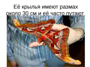 Её крылья имеют размах около 30 см и её часто путают с птицей.