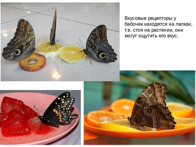 Вкусовые рецепторы у бабочек находятся на лапках, т.е. стоя на растении, они...