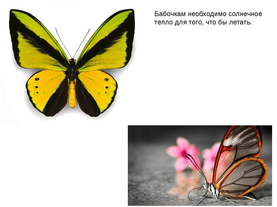 Бабочкам необходимо солнечное тепло для того, что бы летать.