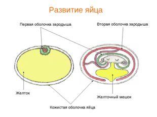 Кожистая оболочка яйца Первая оболочка зародыша Вторая оболочка зародыша Желт