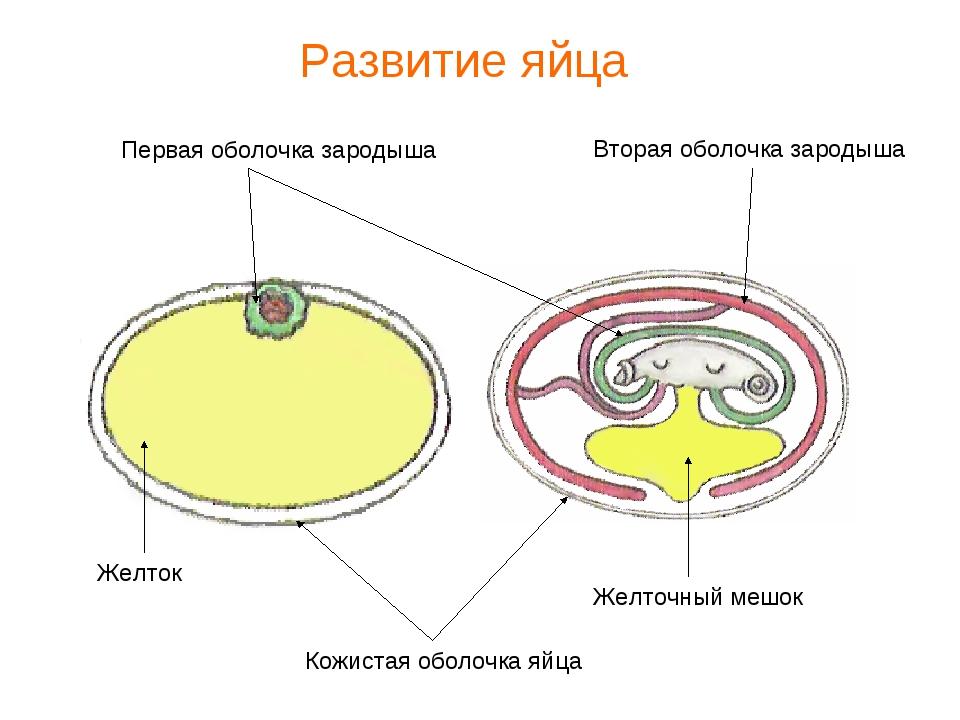 Кожистая оболочка яйца Первая оболочка зародыша Вторая оболочка зародыша Желт...