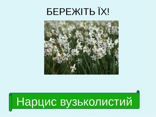 БЕРЕЖІТЬ ЇХ! Нарцис вузьколистий