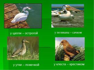у цапли – острогой у пеликана – сачком у утки – ложечкой у клеста – крестиком