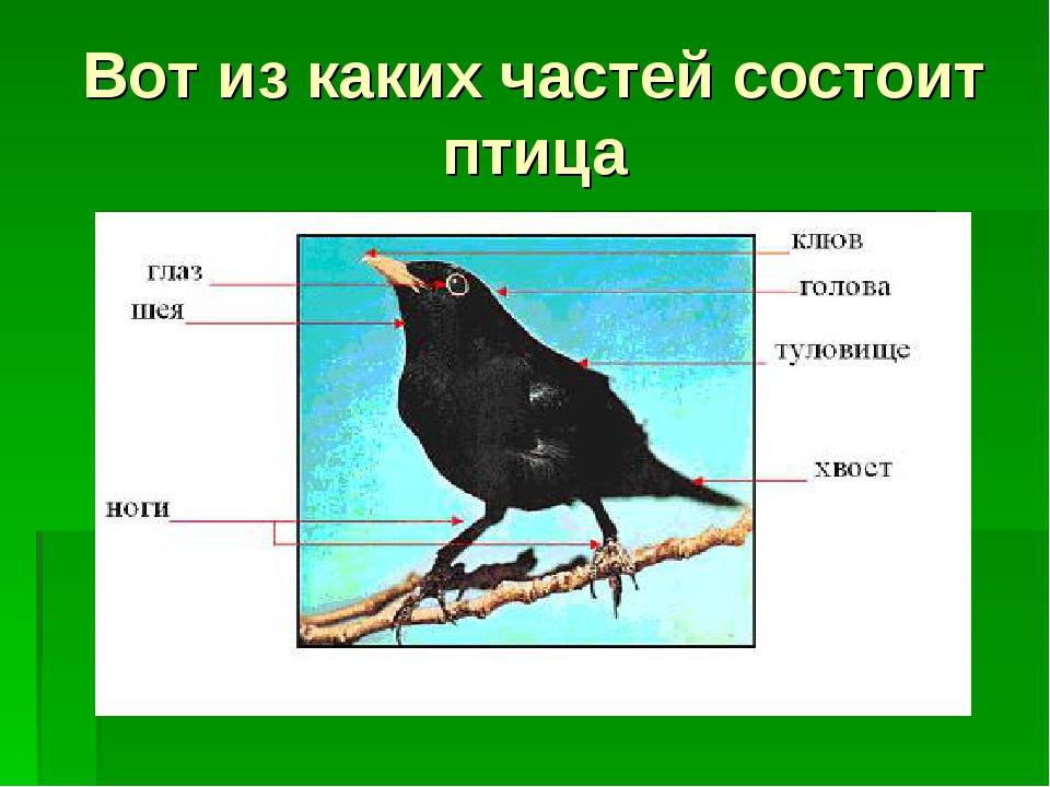 Вот из каких частей состоит птица