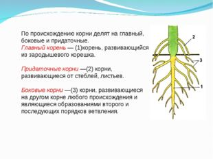 По происхождению корни делят на главный, боковые и придаточные. Главный корен