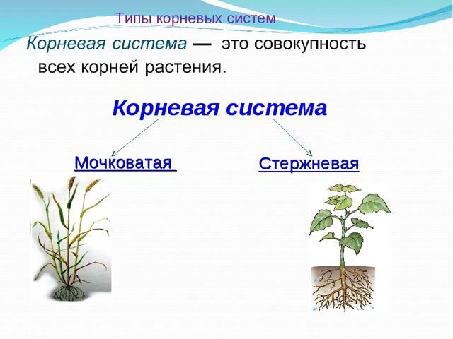 Типы корневых систем Корневая система Мочковатая Стержневая