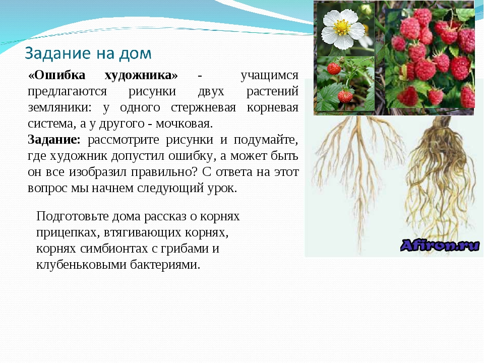 «Ошибка художника» - учащимся предлагаются рисунки двух растений земляники: у...