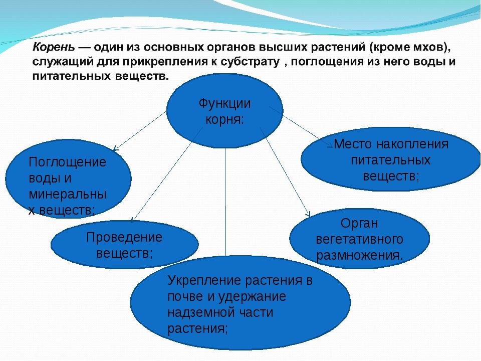 Функции корня: Поглощение воды и минеральных веществ; Проведение веществ; Орг...