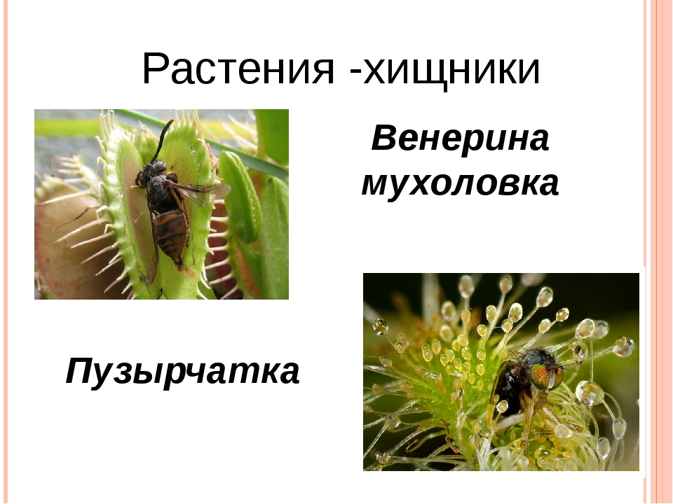 Растения -хищники Венерина мухоловка Пузырчатка