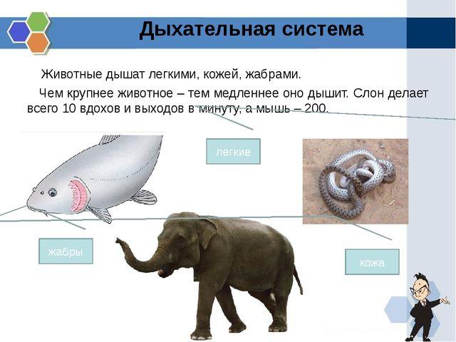 Животные дышат легкими, кожей, жабрами. Чем крупнее животное – тем медленнее...