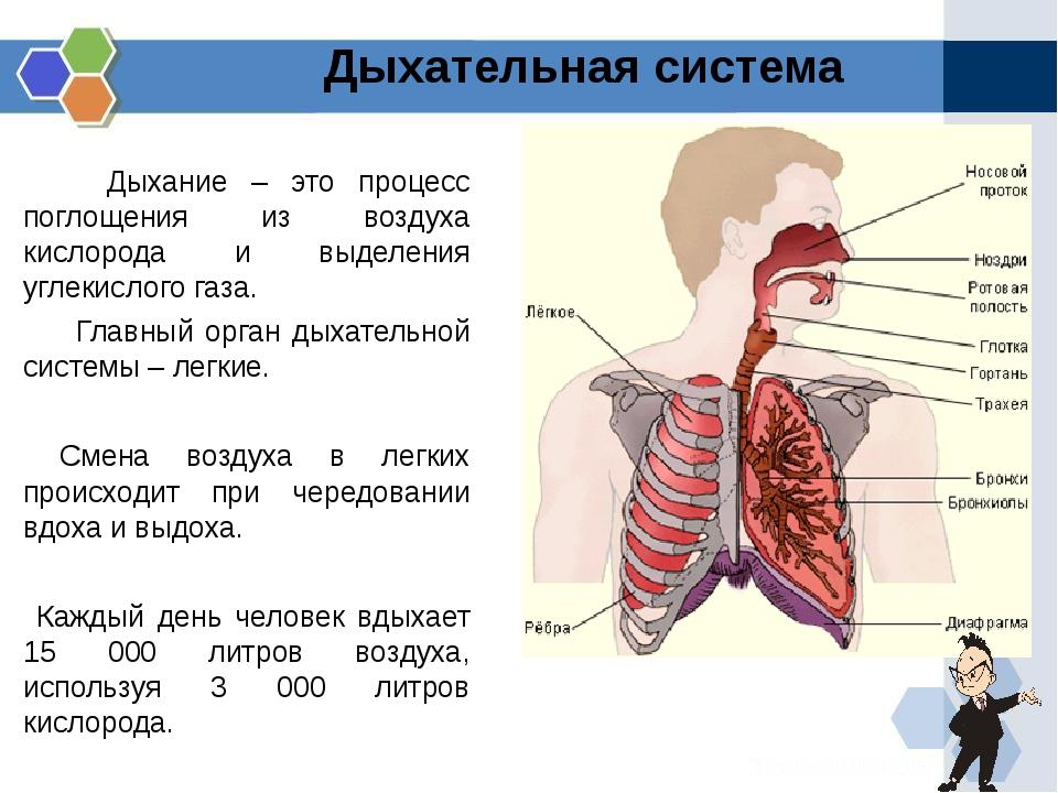 Дыхание – это процесс поглощения из воздуха кислорода и выделения углекисло...