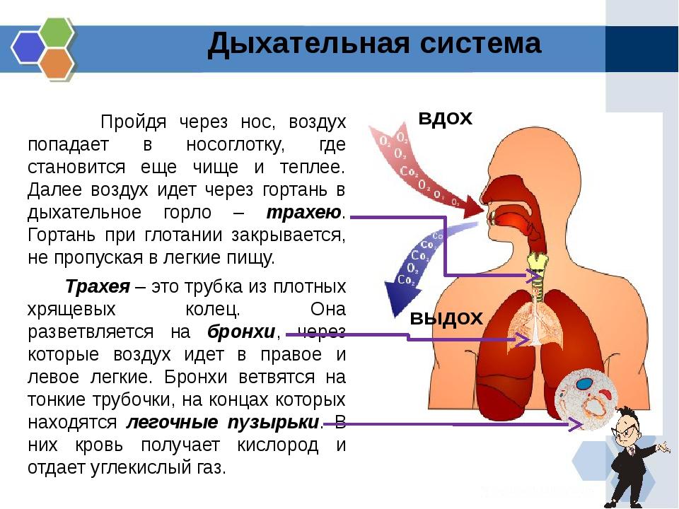 Пройдя через нос, воздух попадает в носоглотку, где становится еще чище и те...