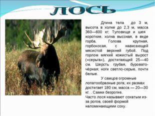Длина тела до 3 м, высота в холке до 2,3 м, масса 360—600 кг; Туловище и шея