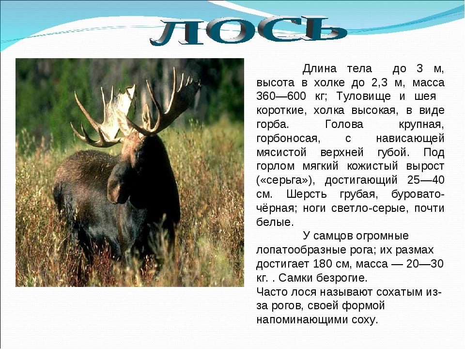 Длина тела до 3 м, высота в холке до 2,3 м, масса 360—600 кг; Туловище и шея...