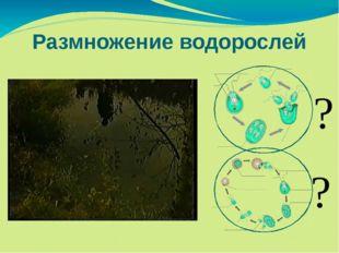 Размножение водорослей ? ?