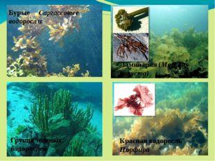 Бурые Саргассовые водоросли Ламинария (Морская капуста) Группа зеленых водор