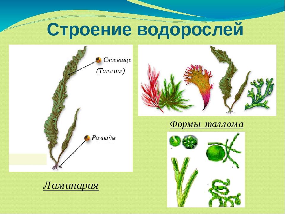 Строение водорослей Формы таллома Ламинария (Таллом)