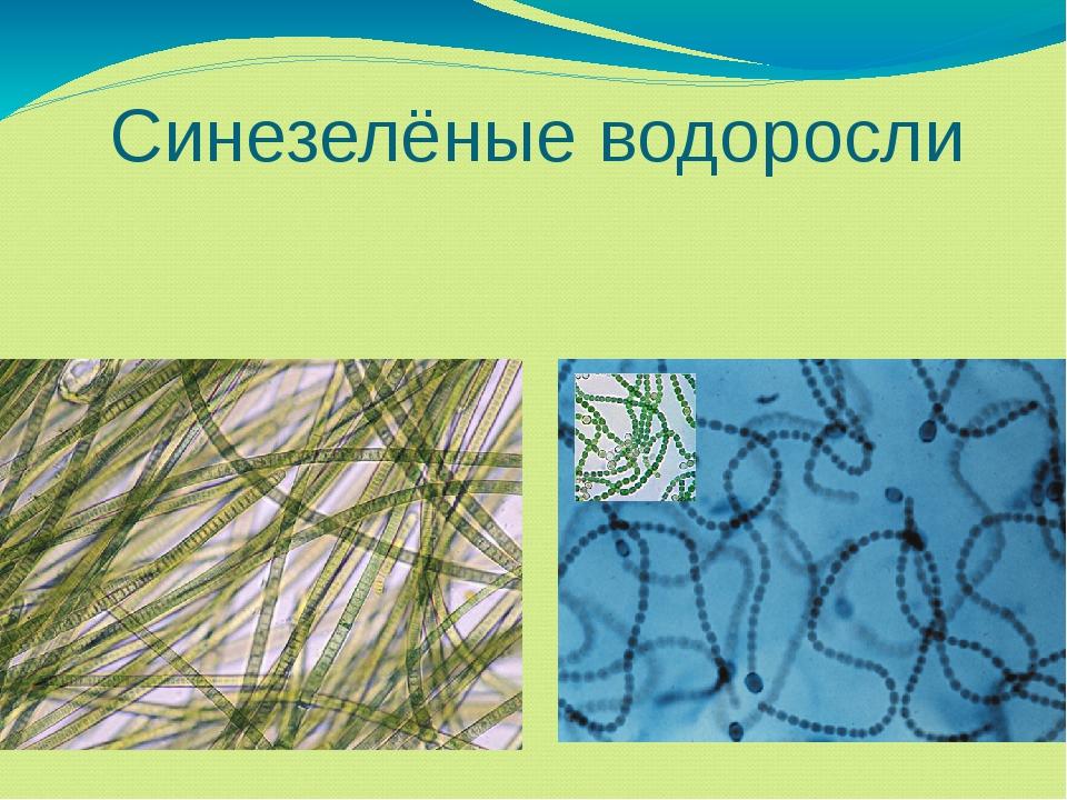 Синезелёные водоросли