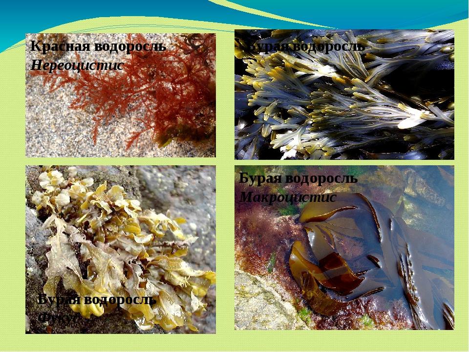 Красная водоросль Нереоцистис Бурая водоросль Бурая водоросль Фукус Бурая вод...