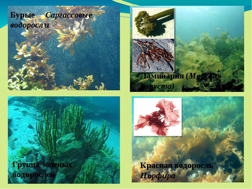 Бурые Саргассовые водоросли Ламинария (Морская капуста) Группа зеленых водор...