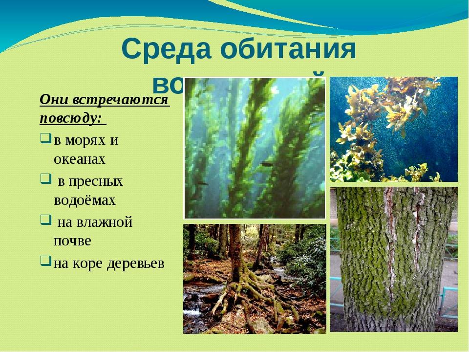 Среда обитания водорослей Они встречаются повсюду: в морях и океанах в пресны...