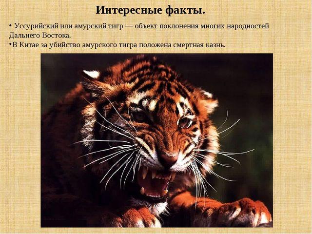 Интересные факты. Уссурийский или амурский тигр — объект поклонения многих на...