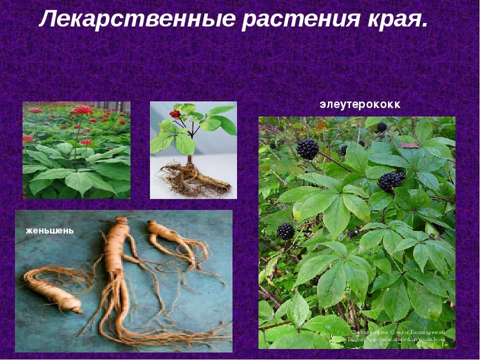 Лекарственные растения края. женьшень элеутерококк