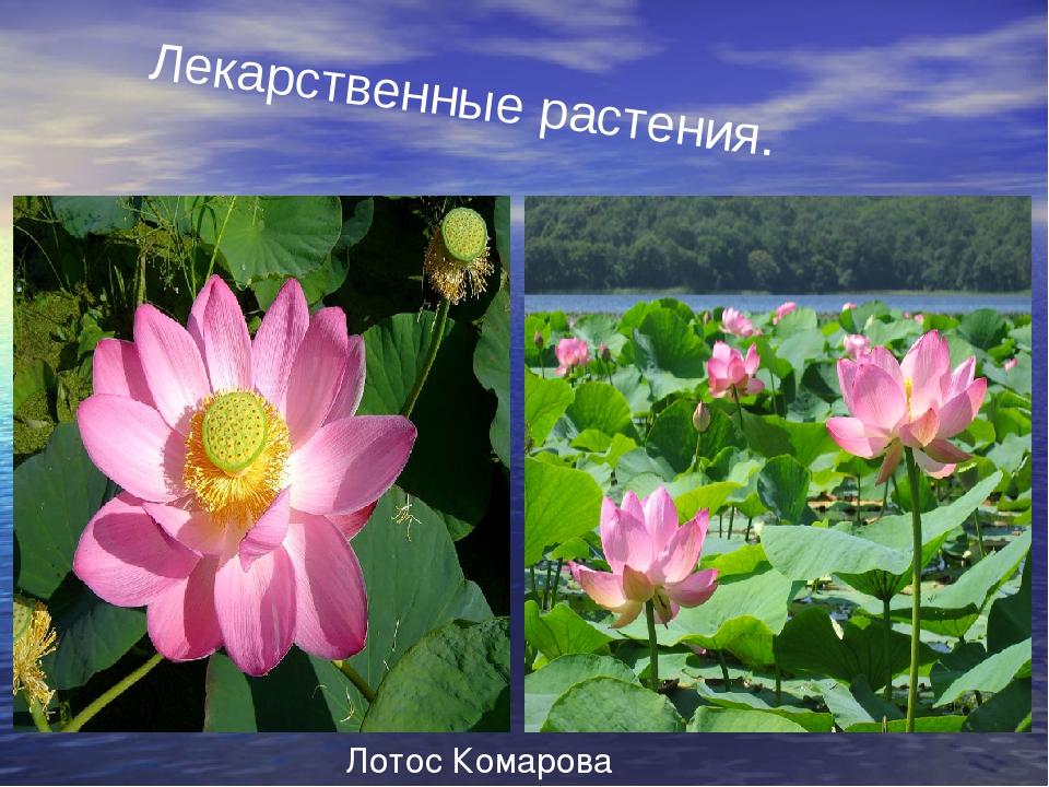 Лекарственные растения. Лотос Комарова