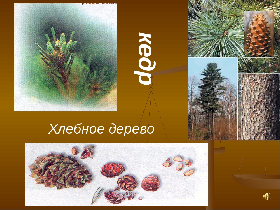 кедр Хлебное дерево