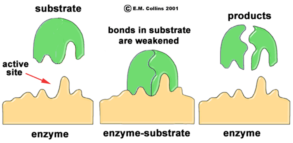 conditions needed for effective enzyme action