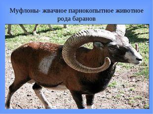 Муфлоны- жвачное парнокопытное животное рода баранов