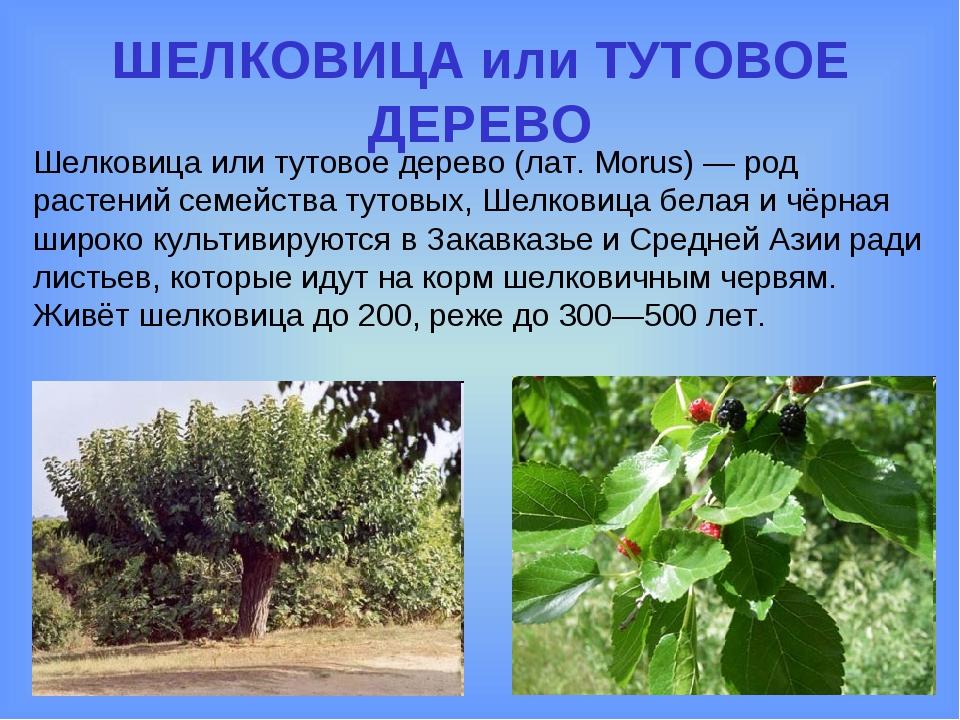 ШЕЛКОВИЦА или ТУТОВОЕ ДЕРЕВО Шелковица или тутовое дерево (лат. Morus) — род...