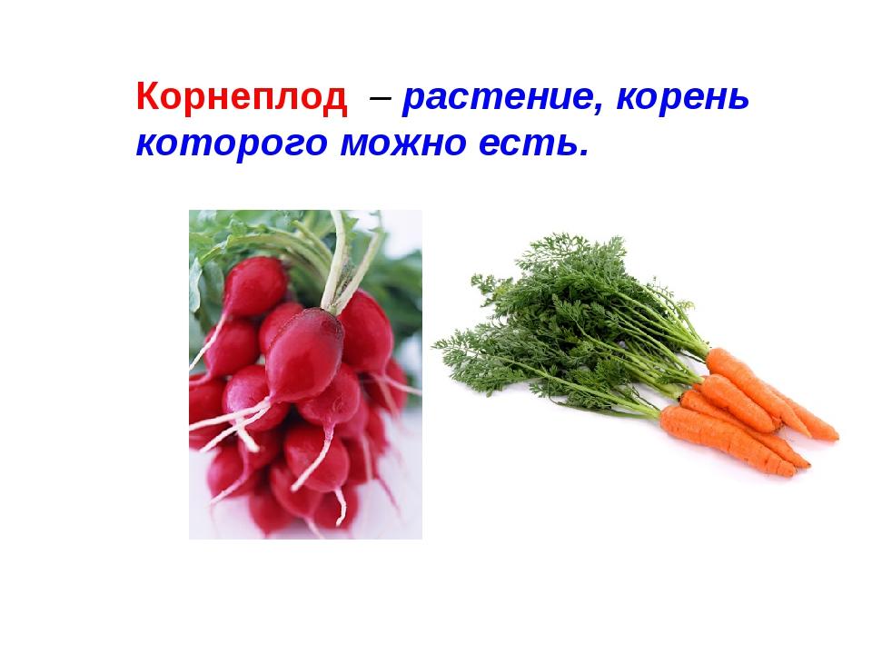 Корнеплод – растение, корень которого можно есть.