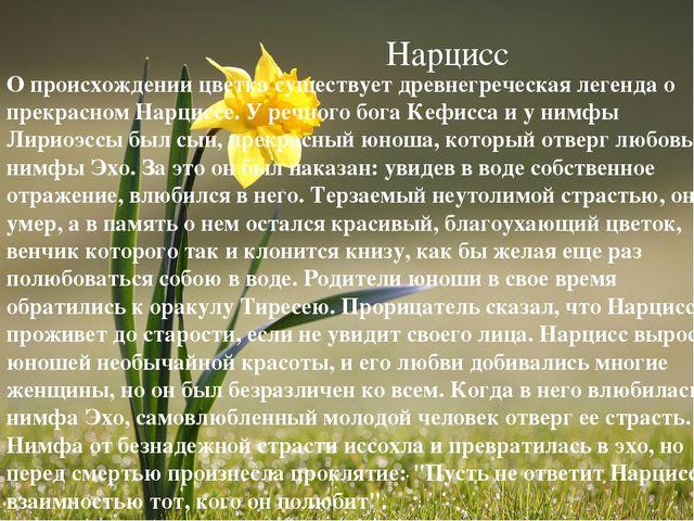 Нарцисс О происхождении цветка существует древнегреческая легенда о прекрасно...