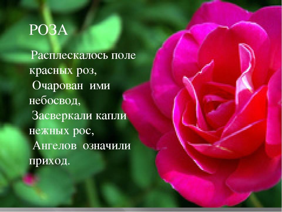 РОЗА Расплескалось поле красных роз, Очарован ими небосвод, Засверкали капли...