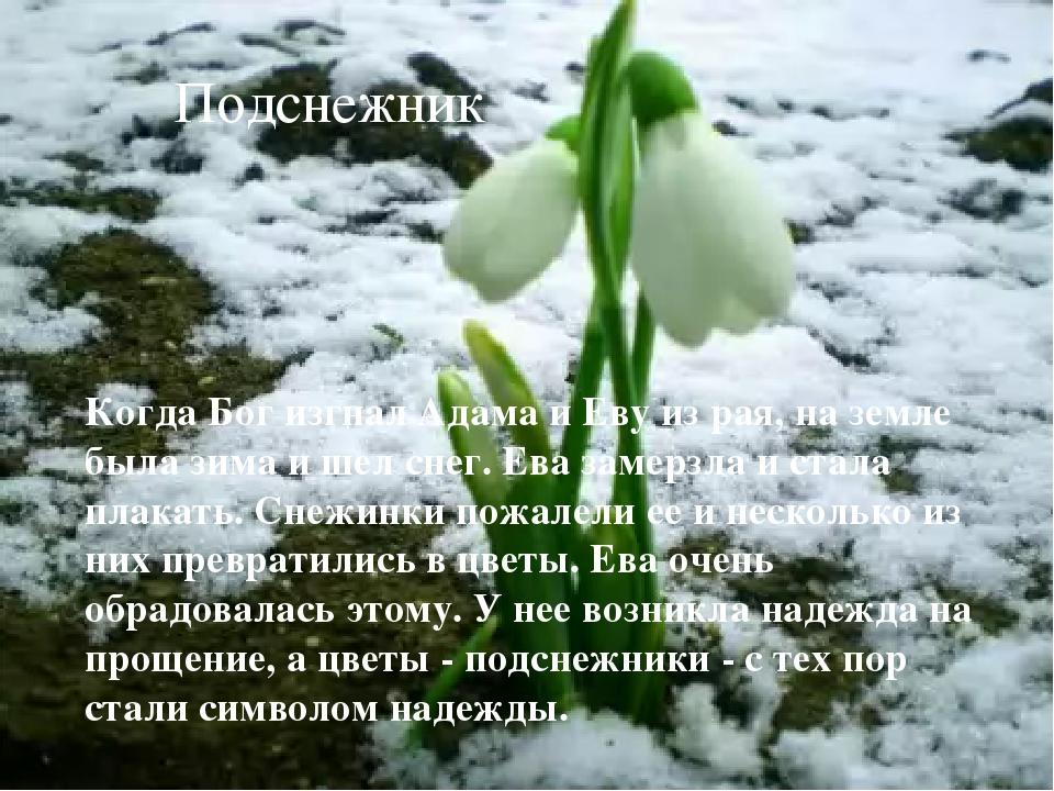Подснежник Когда Бог изгнал Адама и Еву из рая, на земле была зима и шел снег...