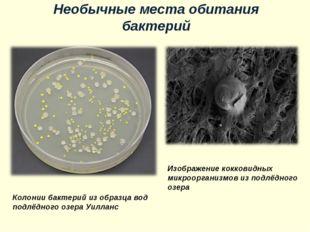 Колонии бактерий из образца вод подлёдного озера Уилланс Изображение коккови