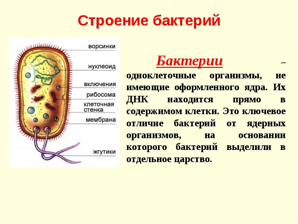 Строение бактерий Бактерии – одноклеточные организмы, не имеющие оформленног...