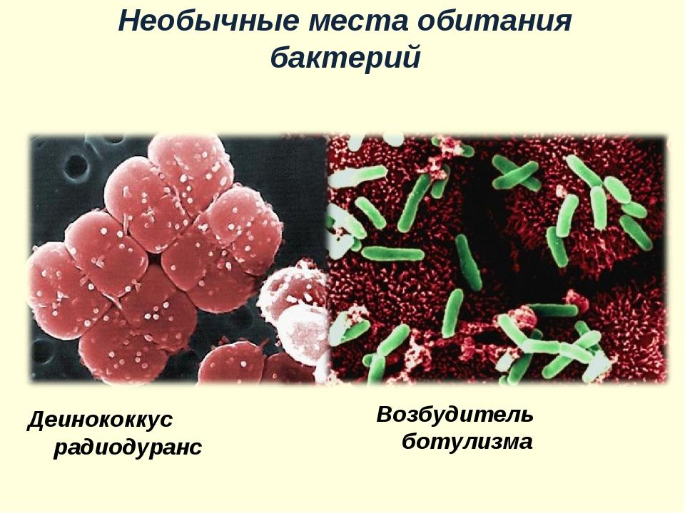 Возбудитель ботулизма Деинококкус радиодуранс Необычные места обитания бактерий