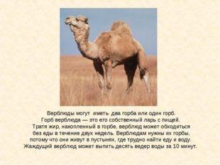 Верблюды могут иметь два горба или один горб. Горб верблюда — это его собстве