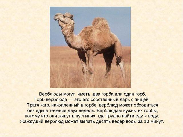 Верблюды могут иметь два горба или один горб. Горб верблюда — это его собстве...