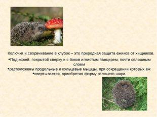 Колючки и сворачивание в клубок – это природная защита ежиков от хищников. По